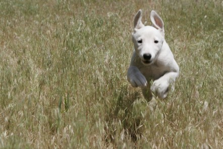A dog running in a field