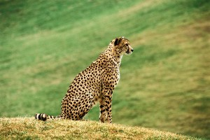 A cheetah on top of a hill to represent cheaters