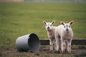 Two lambs standing in a field next to a bucket