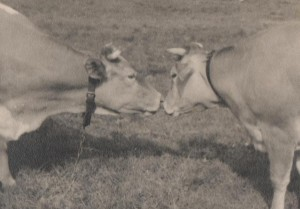 Black and white photo of two cows nose to nose in a field