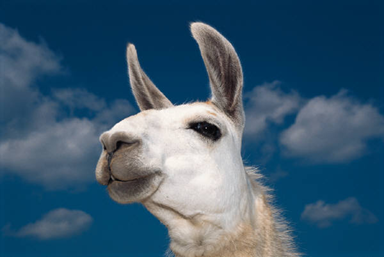 A llama's head against a blue sky