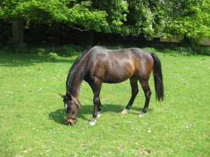 A dark brown horse grazing in a field